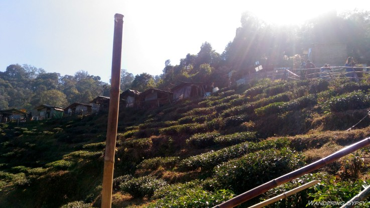Tea estates-2